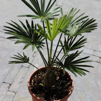 Trachycarpus Wagnerianus, winterharde palmboom