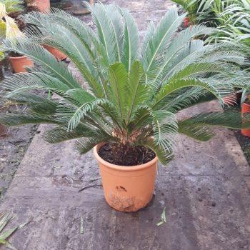 overige exoten yucca agave en cycas planten palmaro. Black Bedroom Furniture Sets. Home Design Ideas