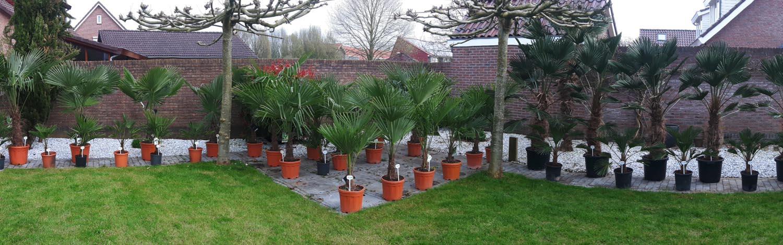 Palmaro Winterharde Palmbomen